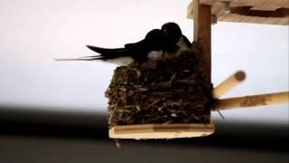 雛が孵化しました 喜びのパパツバメとママツバメです http://tubamedayo...