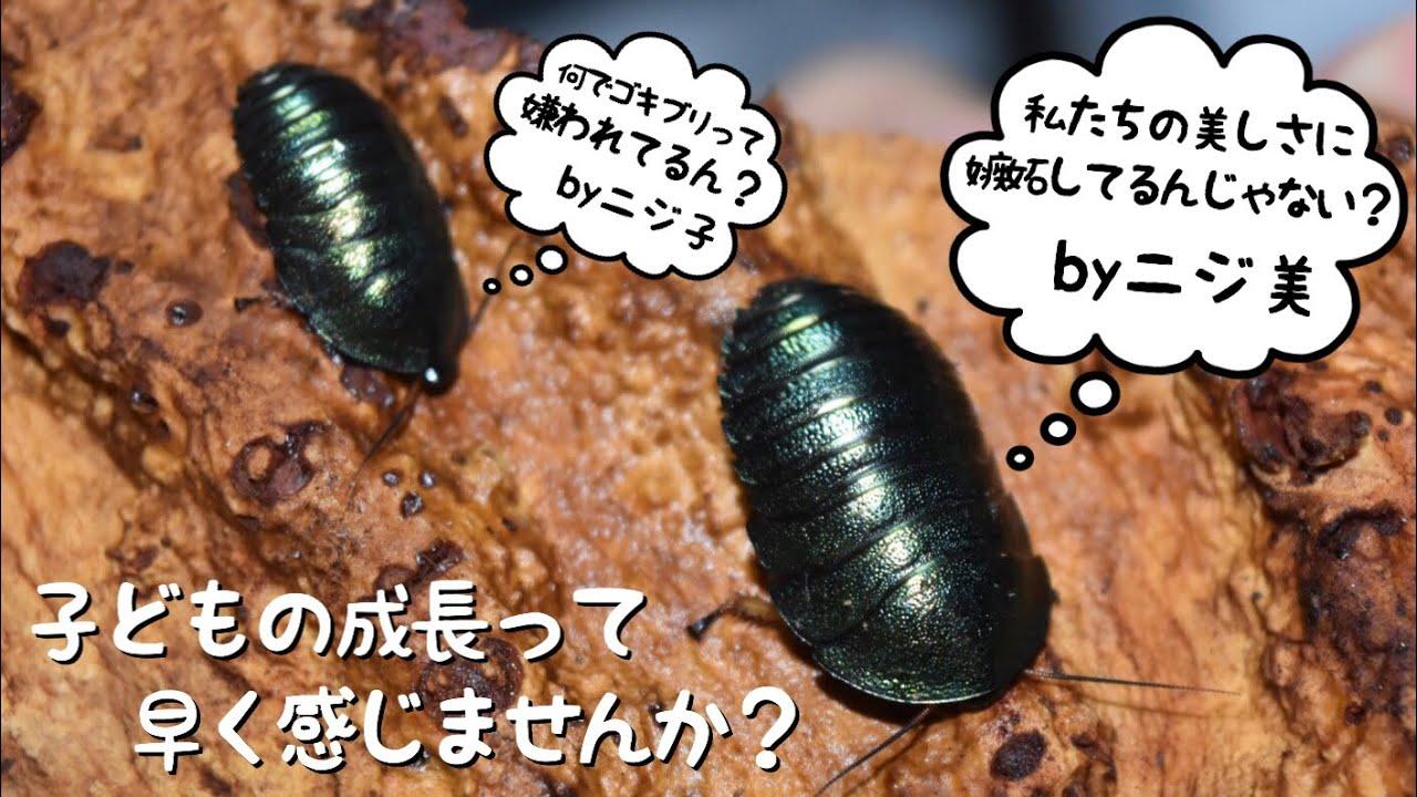 ゴキブリ ひっくり返る