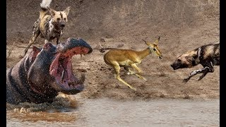 Wild Dogs Attack Antelope Hippo Saved Antelope Animals Fights