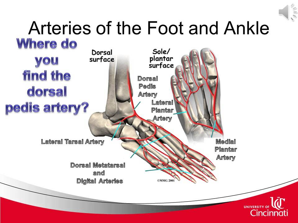 Clinical anatomy of the lower leg, ankle, foot, and toes for ...
