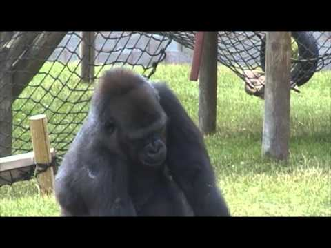 Western Lowland Gorillas at Twycross Zoo