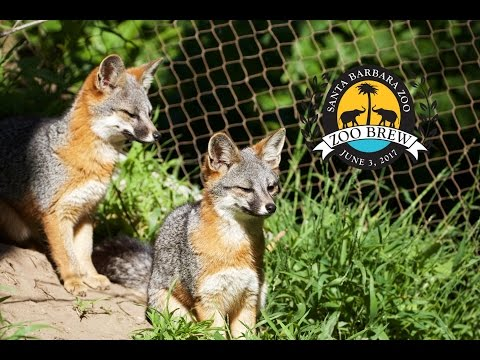 Foxes Help Make Beer  - SANTA BARBARA ZOO