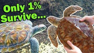 Meet the Green Sea Turtle!