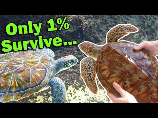 meet-the-green-sea-turtle