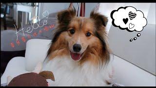 【EP9】宇宙无敌甜心喜乐蒂了解一下 — All about Shetland Sheepdog ( Sheltie)