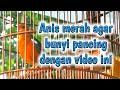 Pancingan Anis Merah Cepat Bunyi  Mp3 - Mp4 Download