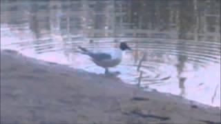Танцующая чайка(Прикол)