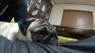 我が家の愛犬パグの「サクラ」いつもヤンチャで、寂しがり屋。だから家...