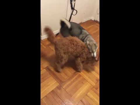 Mini husky and goldendoodle playing, miko the alaskan klee kai pup playing with his girlfriend penny