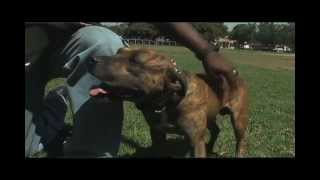 "Expert Dog Trainer: Larry Hill's Imprinting Tips  ""better Protection Dog? Mastiff Or Pitbull!"""