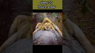 amazing Facts about lions #shorts