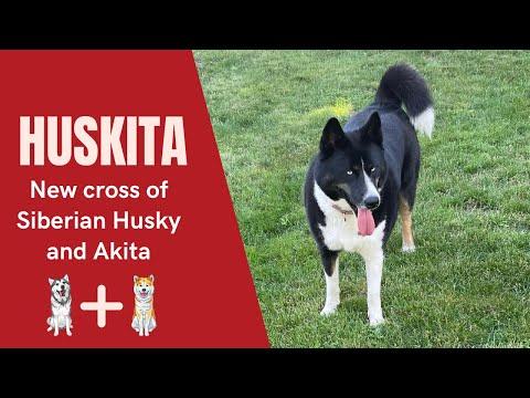 Huskita  The New cross of Siberian Husky and Akita