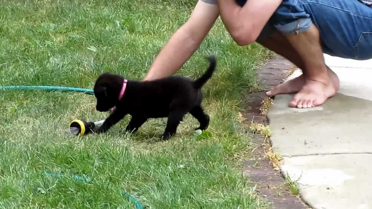 Lucy The Border Collie Lab Puppy Playing With Water Youtube