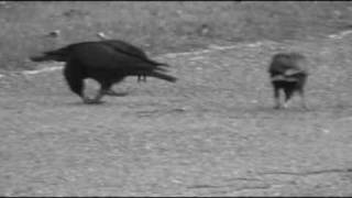 Follow those Crows