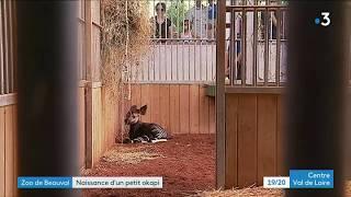 Naissance d'un bébé okapi au ZooParc de Beauval