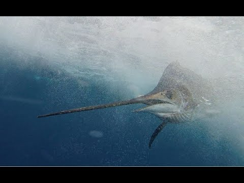 Barbados International Billfish Tournament 2018