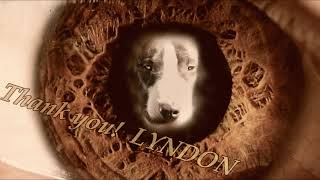 Old standard working Bull Terrier......