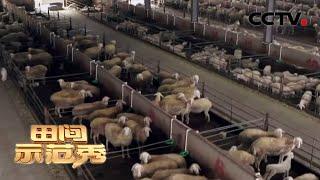《田间示范秀》 20200327 拯救亏本的羊场|CCTV农业