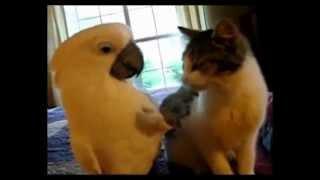 Бесподобные кошки - Funny cats. Удивительные ласки кошки и попугая:)