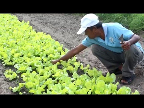Organic vegetable production in Cambodia - Climate change adaptation - HD720p