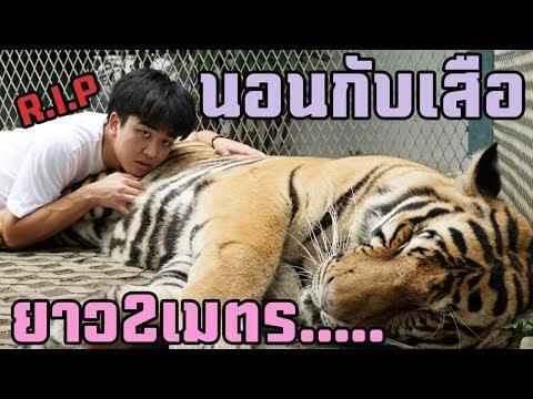 ก็แค่นอนกับเสือใหญ่2เมตร.....(โดนกิน😱) เกาหลีเที่ยวคนเดียวEp.04