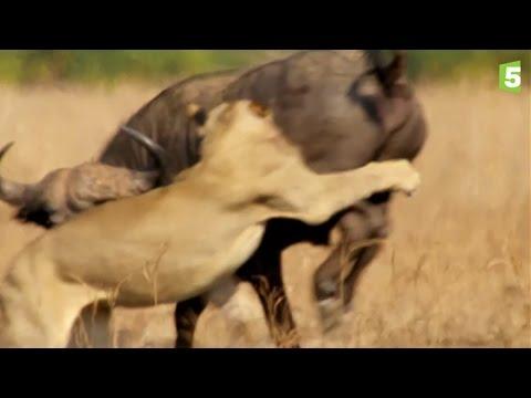 les fauves et la savane life in the savana africa lions fight. Black Bedroom Furniture Sets. Home Design Ideas