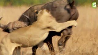 Prédateurs - Lions vs buffle : l