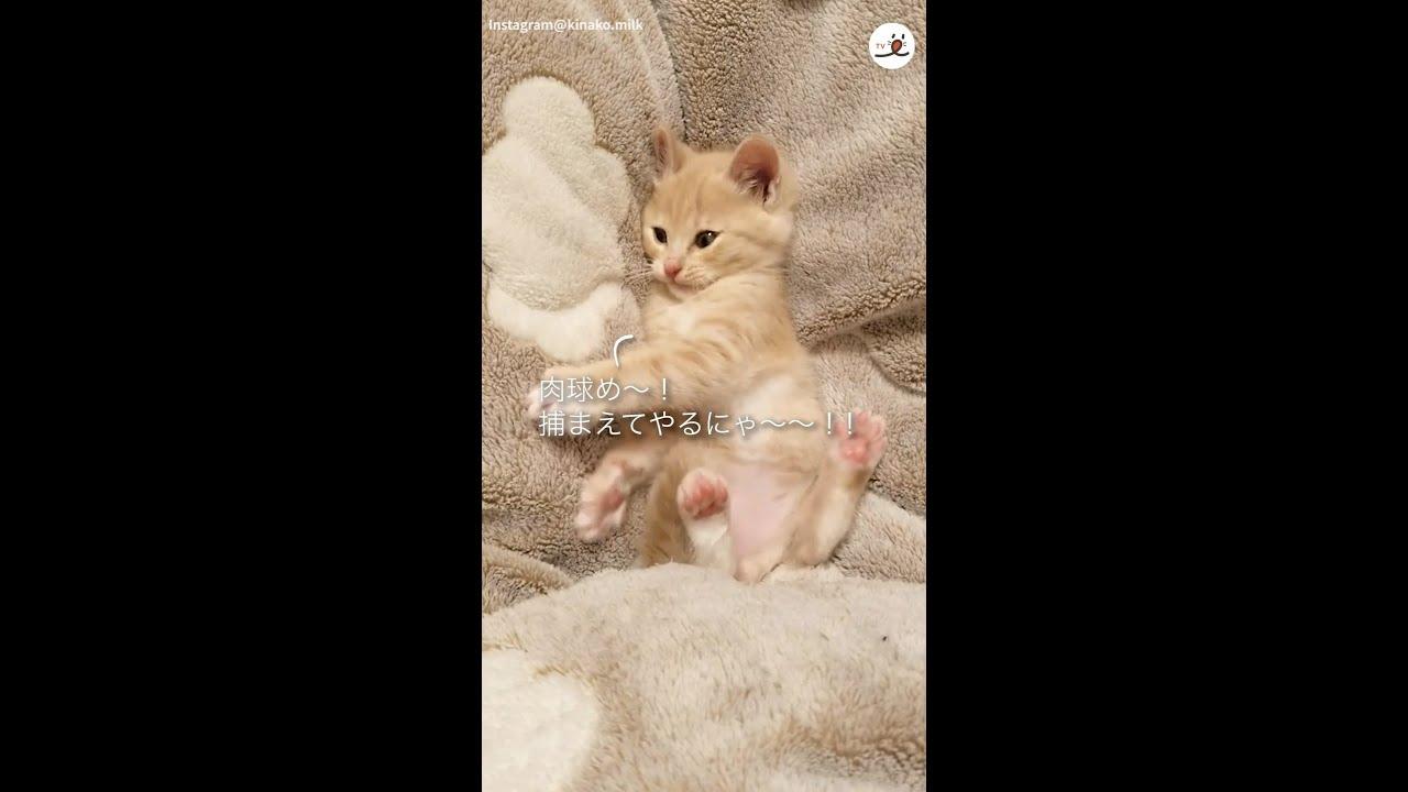 """【PECO】「あれ…?」子猫が興味をもったのは """"自分の足"""""""