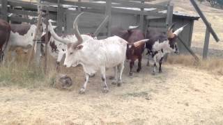 Safari West- Watusi Cattle