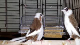 Society Finch singing big time! ~ Part 1