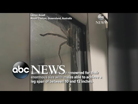 Hauntingly huge spider spotted in Australia
