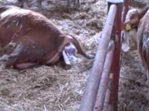 easy calving simmental.wmv