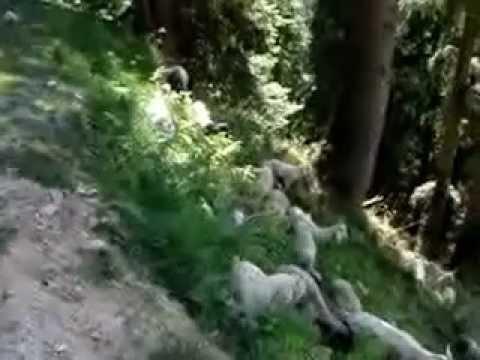 Gaddi pastoralist shepherds Himachal Pradesh, India
