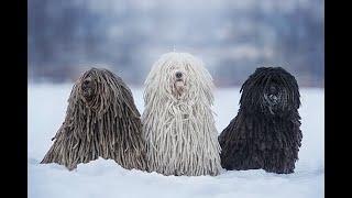 razas de perros puli hungaro