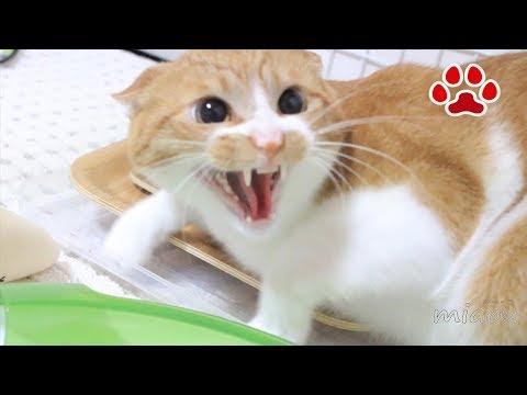 仔猫を初めて見た猫【瀬戸のまや日記】Maya, saw for the first time kittens