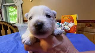 West Highland White Terrier Lulu's Puppies 3 Weeks Old