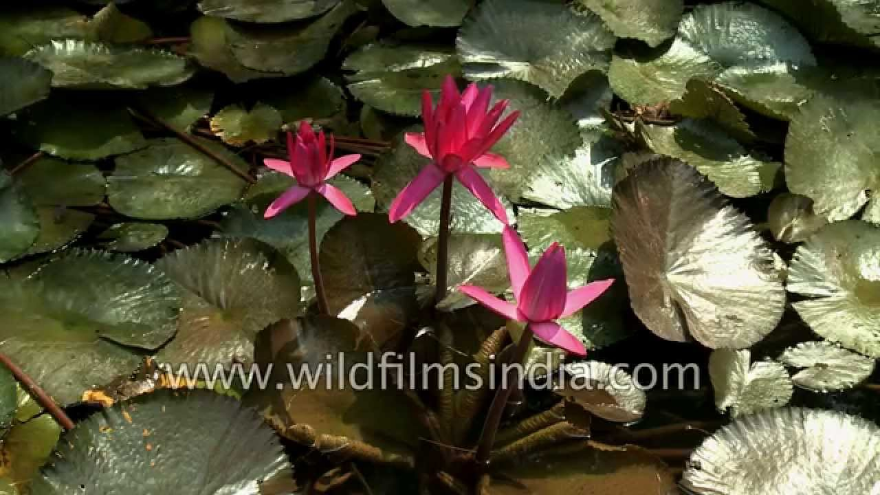 Watch water lilies close for the day before your eyes youtube watch water lilies close for the day before your eyes izmirmasajfo