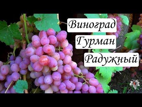 Сорт Винограда Гурман Радужный. Урожай. Виноград 2018