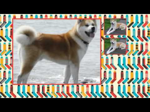 What are some Akita training tips?