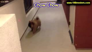 Chow Chow, Puppies, For, Sale, In, Allegheny, Pennsylvania, Pa, Bucks, Chester, County, Berks, Delaw