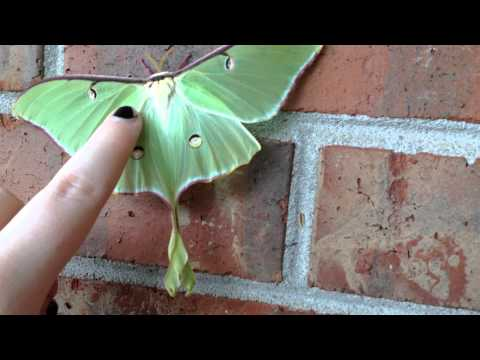 Petting The luna moth, Actias luna