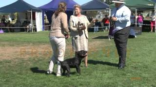 Staffordshire Bull Terriers Club Of Victoria Australia