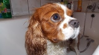 Cavalier King Charles Spaniel - Evening walk after the shower - [Paca]