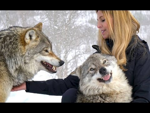 LARGE NORWEGIAN WOLVES - BITE, FIGHT & FLIGHT