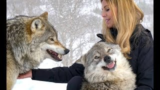 Download LARGE NORWEGIAN WOLVES - BITE, FIGHT & FLIGHT Mp3 and Videos