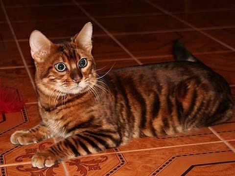 Фотографии Тойгер порода кошек
