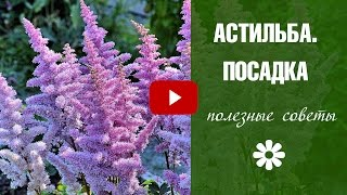 видео Цветы астильба: посадка, уход и размножение в открытом грунте
