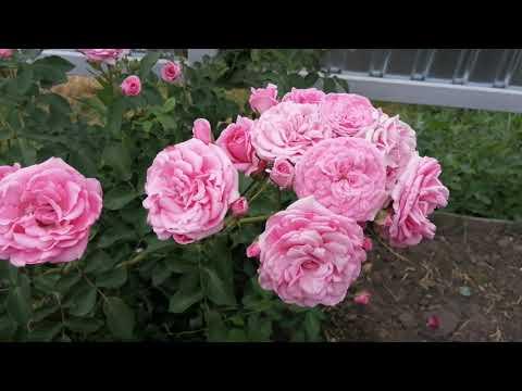 Розы флорибунда! Что покупал и что на самом деле!