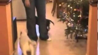 Miniature Bull Terrier Male For Sale