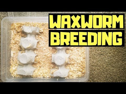 How To Breed WAXWORMS ( Easiest Way)
